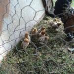 Bantam chicks, July 2014